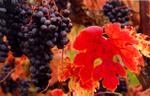 Goldschmidt_vineyards_merlot_2